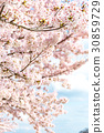 cherry blossom, cherry tree, cherry-blossom viewing 30859729