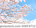 cherry blossom, cherry tree, cherry-blossom viewing 30859732