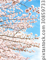 cherry blossom, cherry tree, cherry-blossom viewing 30859733