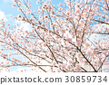 cherry blossom, cherry tree, cherry-blossom viewing 30859734