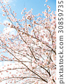 cherry blossom, cherry tree, cherry-blossom viewing 30859735