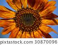 sunflower 30870096
