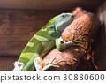 히로 오비 피지 이구아나 이구아나 동물 30880600