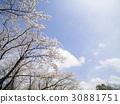 ดอกซากุระบาน,ซากุระบาน,ทัศนียภาพ 30881751