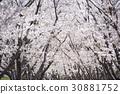 ดอกซากุระบาน,ซากุระบาน,ทัศนียภาพ 30881752