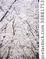 ดอกซากุระบาน,ซากุระบาน,ทัศนียภาพ 30881753