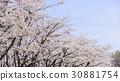 ดอกซากุระบาน,ซากุระบาน,ทัศนียภาพ 30881754