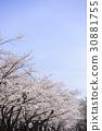 ดอกซากุระบาน,ซากุระบาน,ทัศนียภาพ 30881755