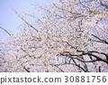 ดอกซากุระบาน,ซากุระบาน,ทัศนียภาพ 30881756