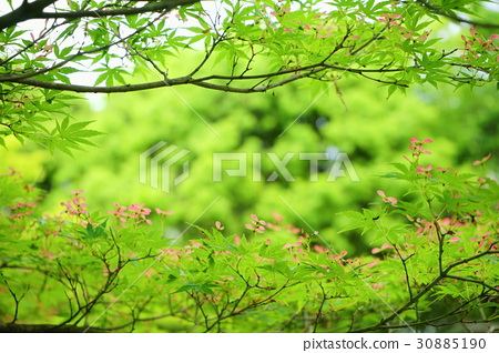 Green forest / blue maple seed 1 - Stock Photo [30885190