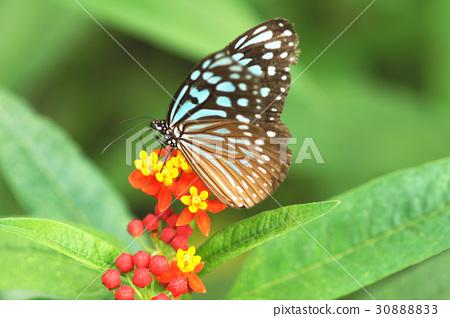淡紋青斑蝶 30888833
