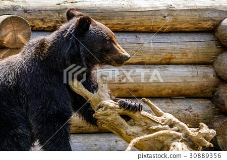 curious little bear in rehabilitation center 30889356