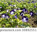 Torenia紫色小花 30892551