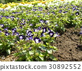 Torenia紫色小花 30892552