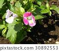 Torenia的桃子小花 30892553