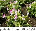 Torenia的桃子小花 30892554