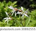 고추 조팝 나무의 귀여운 흰 꽃 30892555
