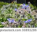 紫草科 花朵 花 30893286