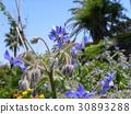紫草科 花朵 花 30893288