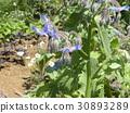 紫草科 花朵 花 30893289