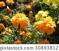 萬壽菊 花朵 花 30893812