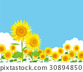 sunflower, sunflowers, summer 30894850