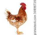Brown rooster on clear background, live chicken 30896720