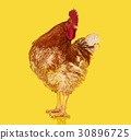 Brown rooster on clear background, live chicken 30896725