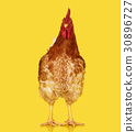 Brown rooster on clear background, live chicken 30896727