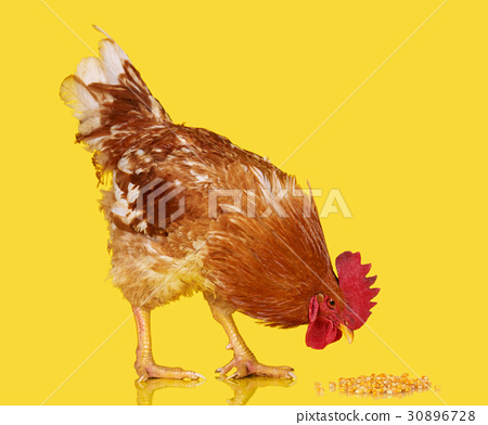 Brown rooster on clear background, live chicken 30896728
