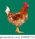 Brown rooster on clear background, live chicken 30896733