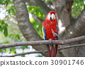scarlet, macaw, cockatoo 30901746