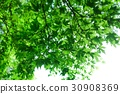 Green maple 30908369