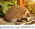 wild european hedgehog eating dinner leftover 30909276