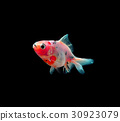 gold fish isolated on black 30923079