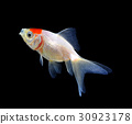 Goldfish isolated on black background 30923178