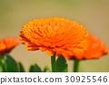 marigold, bloom, blossom 30925546