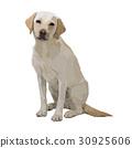 拉布拉多犬 坐 坐下 30925606