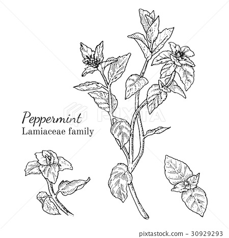 Ink peppermint hand drawn sketch 30929293