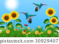 Two hummingbirds flying in sunflower field 30929407