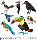 Different types of wild birds 30929477