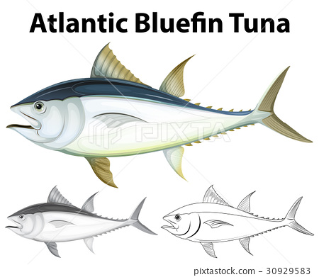 Drafting character for atlantic bluefin tuna 30929583