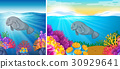 Two scene of manatee swimming under the sea 30929641