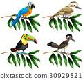 一組 熱帶 金剛鸚鵡 30929821