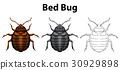 Bed bug in three sketches 30929898
