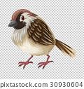 Sparrow bird on transparent background 30930604