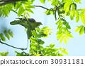 비둘기, 신록, 조류 30931181