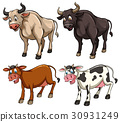 Different kinds of cows 30931249