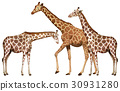 Three tall giraffes on white background 30931280