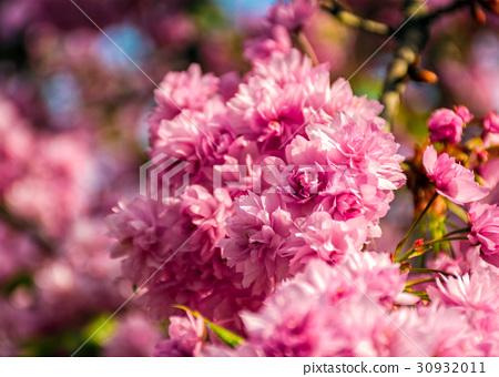 Sakura flower blossom in garden at springtime 30932011